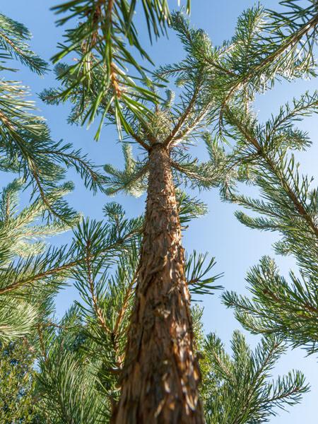 Pine Wood Tree