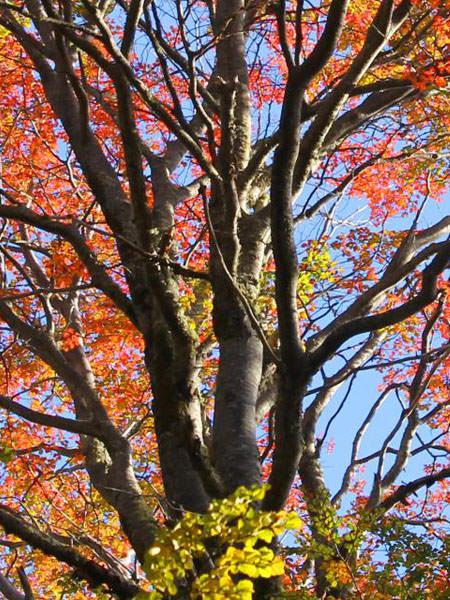 Rauli Tree